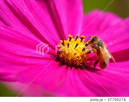 ミツバチとコスモス 37799278