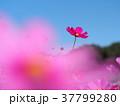 コスモス 花 ピンクの写真 37799280