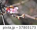 花 桜 寒桜の写真 37803173