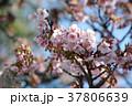カンザクラ 寒桜 桜の写真 37806639