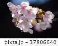寒桜 カンザクラ 桜の写真 37806640