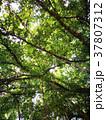 Low Angle View Of Banyan Tree Top 37807312