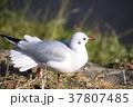 ユリカモメ 鳥 白色の写真 37807485