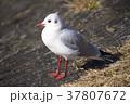 ユリカモメ 鳥 カモメの写真 37807672