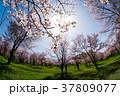 春 桜 花の写真 37809077