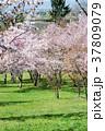 桜 花 春の写真 37809079