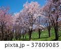 桜 花 春の写真 37809085