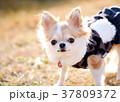 チワワ 犬 小型犬の写真 37809372