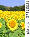 花 ヒマワリ 向日葵畑の写真 37816881