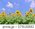 花 ヒマワリ 向日葵畑の写真 37816882