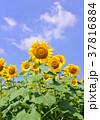 花 ヒマワリ 向日葵畑の写真 37816884