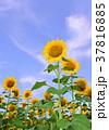 花 ヒマワリ 向日葵畑の写真 37816885