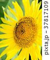花 向日葵 ヒマワリの写真 37817109