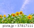 花 ひまわり畑 ヒマワリの写真 37817111