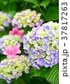 花 アジサイ 紫陽花の写真 37817263