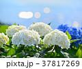 花 アジサイ 紫陽花の写真 37817269