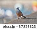 琵琶湖のイソヒヨドリ 37826823