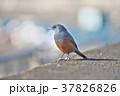 琵琶湖のイソヒヨドリ 37826826