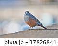 琵琶湖のイソヒヨドリ 37826841