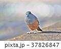 琵琶湖のイソヒヨドリ 37826847