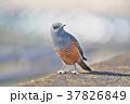琵琶湖のイソヒヨドリ 37826849