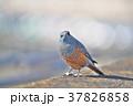 琵琶湖のイソヒヨドリ 37826858
