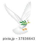鳩 オリーブ 鳥のイラスト 37836643