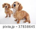 犬 動物 ミニチュアダックスの写真 37838645