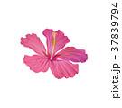 植物 ハイビスカス 槿のイラスト 37839794