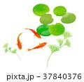 金魚 水草 魚のイラスト 37840376