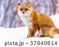《北海道》キタキツネ・雪景色 37840614