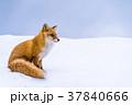 《北海道》キタキツネ・雪景色 37840666