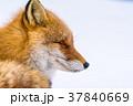 狐 北狐 動物の写真 37840669