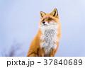 《北海道》キタキツネ・雪景色 37840689