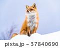 《北海道》キタキツネ・雪景色 37840690