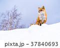 《北海道》キタキツネ・雪景色 37840693