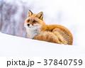 狐 北狐 冬の写真 37840759