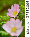 花 桃色 サンショウバラの写真 37852896