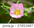 花 桃色 サンショウバラの写真 37852897