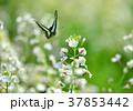 花 大根の花 白の写真 37853442