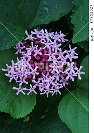 牡丹臭木 ボタンクサギ 花言葉は「輝く美しさ」 37853927