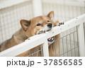 いたずらをする柴犬、カメラ目線 37856585