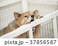 いたずらをする柴犬、カメラ目線 37856587