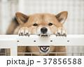 いたずらをする柴犬、カメラ目線 37856588