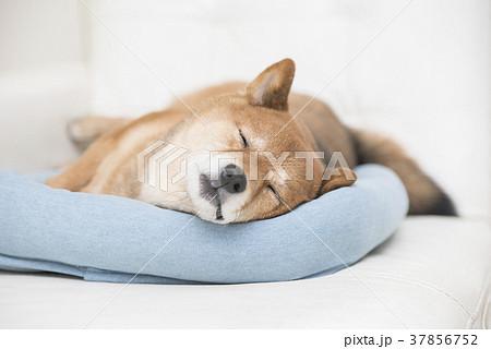 かわいい眠る柴犬 37856752