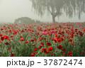 ポピー ヒナゲシ 花の写真 37872474