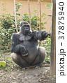 ニシゴリラ ゴリラ 動物の写真 37875940