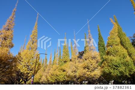 神宮外苑の銀杏並木 37882361