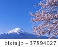 富士山 桜 春の写真 37894027