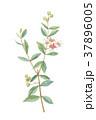 ヘナ ヘンナ 指甲花のイラスト 37896005